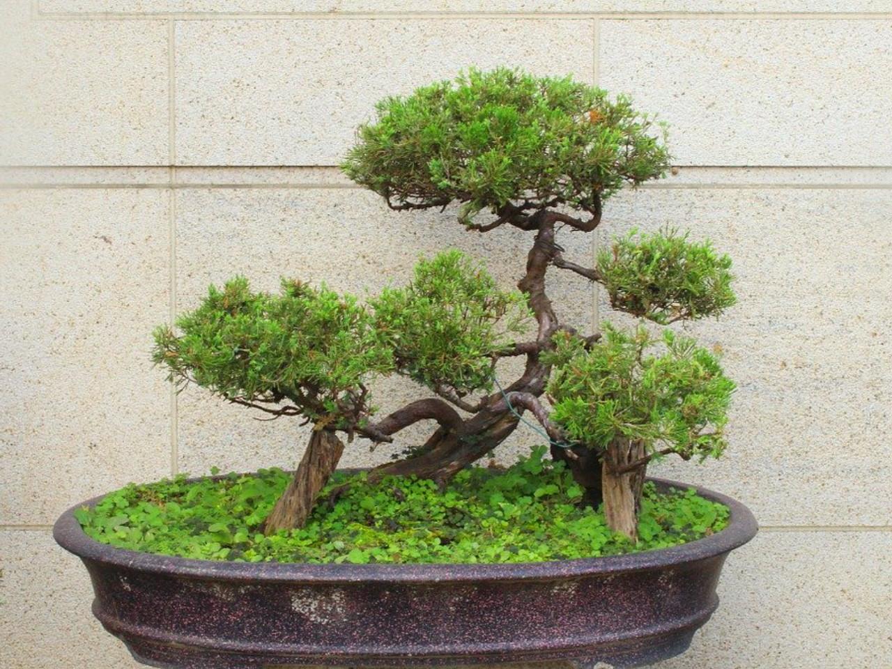 cara-menanam-bonsai.jpg
