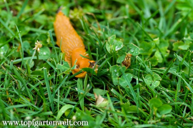 Nacktschnecke in der Wiese - Gartenblog Topfgartenwelt