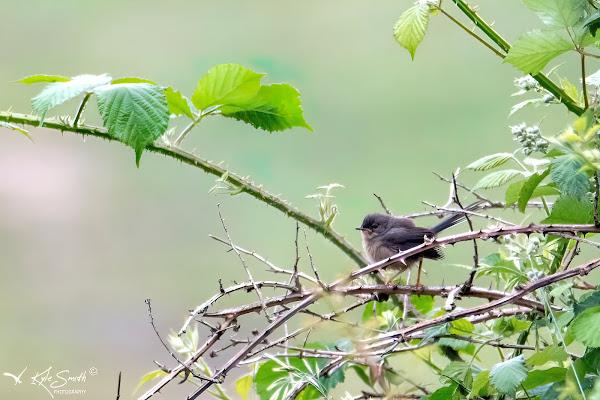 Darford warbler