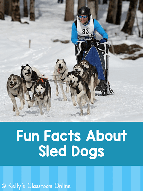 Fun Facts About Sled Dogs by Kelly's Classroom Online