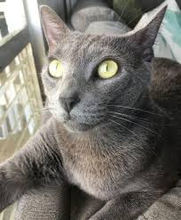 Siamese Russian blue mix Personality, Size, Adoption, Lifespan, Price