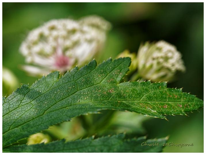 jarzmianka większa Astrantia major liść