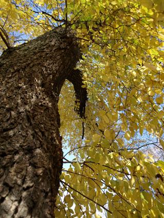 LOlmo albero sacro purificatore e ingrediente di antichi medicamenti
