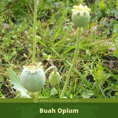 Ciri Ciri Buah Opium