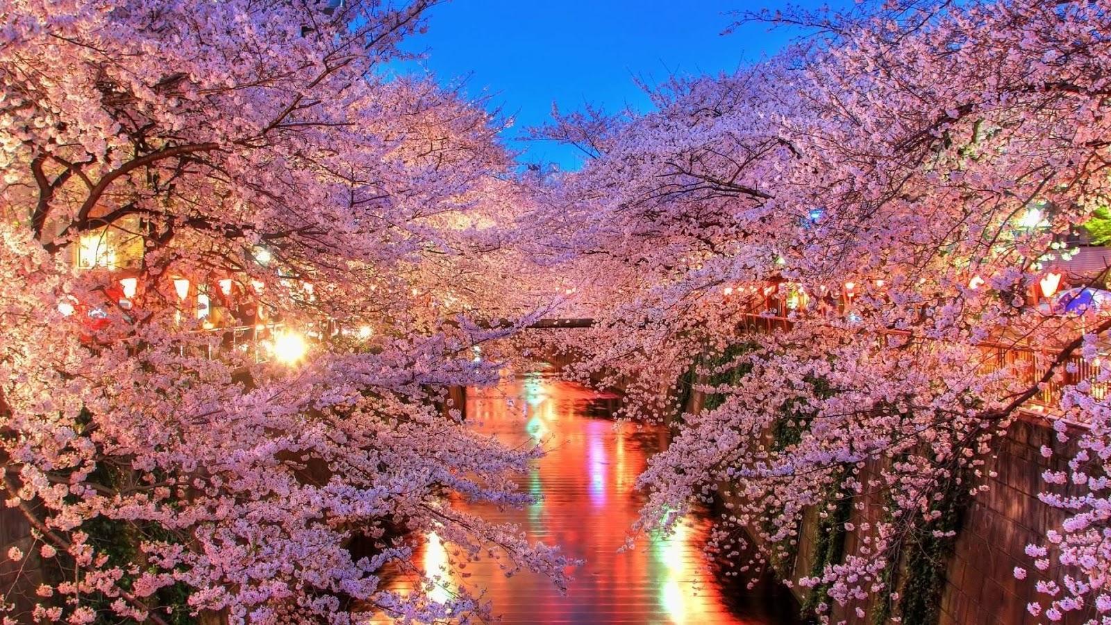 gambar bunga sakura jepang indah cantik - gambar kata kata