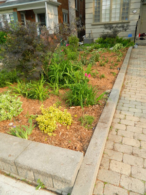 Toronto Bedford Park Front Yard Goutweed Removal Cleanup After by Paul Jung Gardening Services--a Toronto Organic Gardener