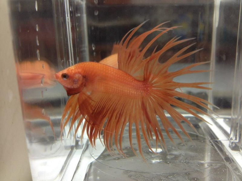 Crowntail Gold Betta Fish Image