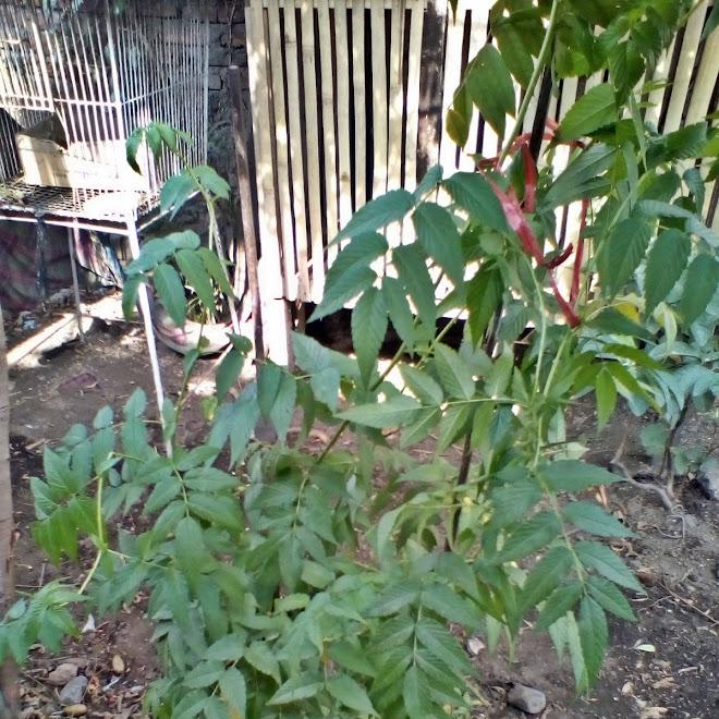 Cara Pindahkan Tanaman Dari Pot ke Tanah