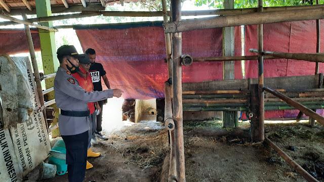 Tiga Ekor Sapi Milik Kelompok Tani Sidamukti Digondol Maling, Begini Penjelasan Kapolsek Kalimanah