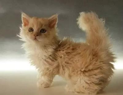 Karakter Ras Kucing Lambkin