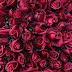 Turchia esporta 60 milioni di rose 1 settimana da San Valentino