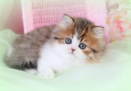 kucing miniature persia