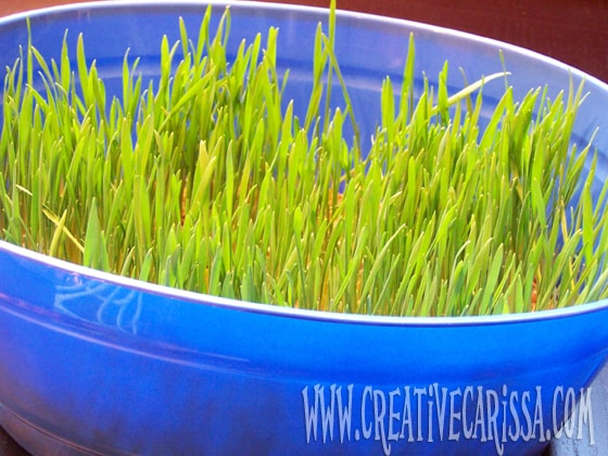 seven days of growth on wheat berry grass for easter baskets