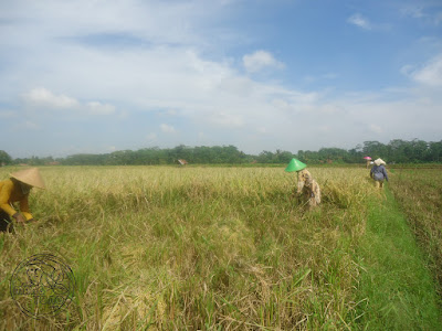 Rice harvest in Subang, Indonesia