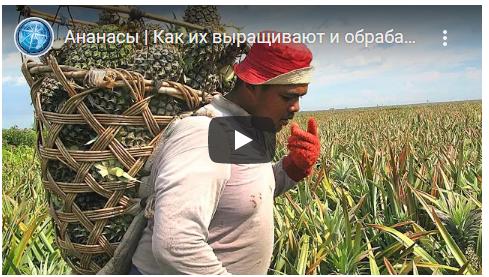 Come vengono coltivati e lavorati. L'ananas è un frutto