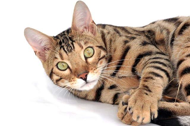 10 حقائق مذهلة عن القطط البنغالية
