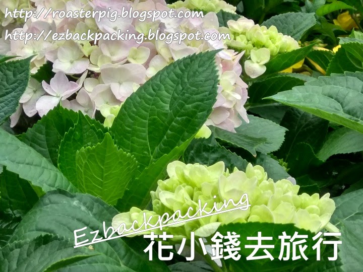 大埔繡球花