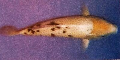 Gambar Ikan Koi Bekko