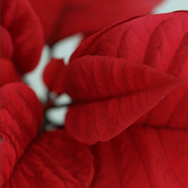 poinsettia-blog-oliandmoli-7-plantas-navideñas
