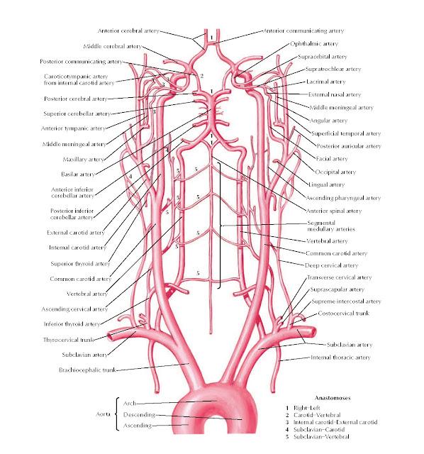 Arteries to Brain: Schema Anatomy