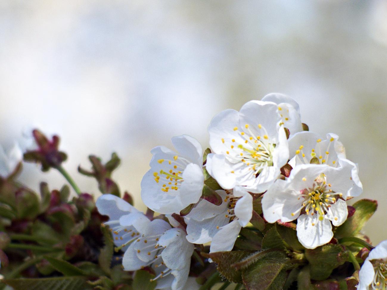 Kirschblüte im Glemstal #2