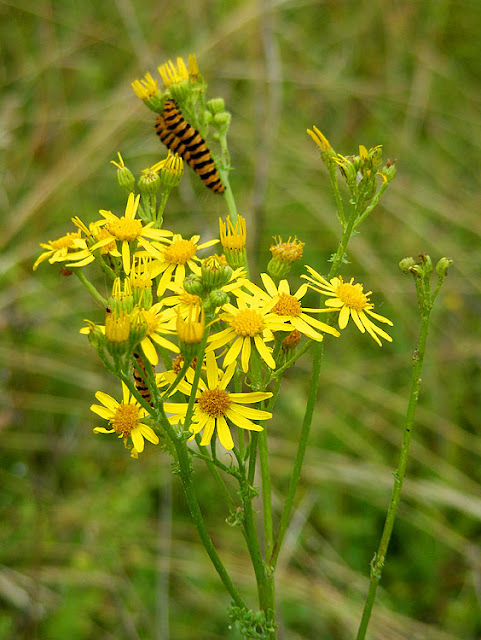 Cinnabar moth Tyria jacobaeae caterpillars on Common Ragwort Jacobaea vulgaris. Indre et Loire. France. Photo by Loire Valley Time Travel.