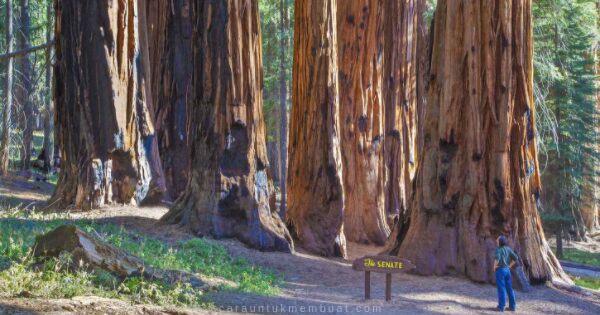 Pohon Tertua Di Bumi