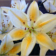 Lily Flowering Plants Brief History & Origin