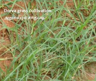 Durva grass cultivation