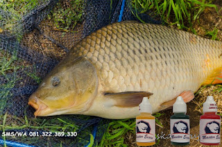 Essen Ikan Mas Subang Khusus Harian