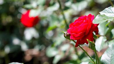صور خلفيات ورد احمر