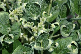 soybean-leaf-cupping