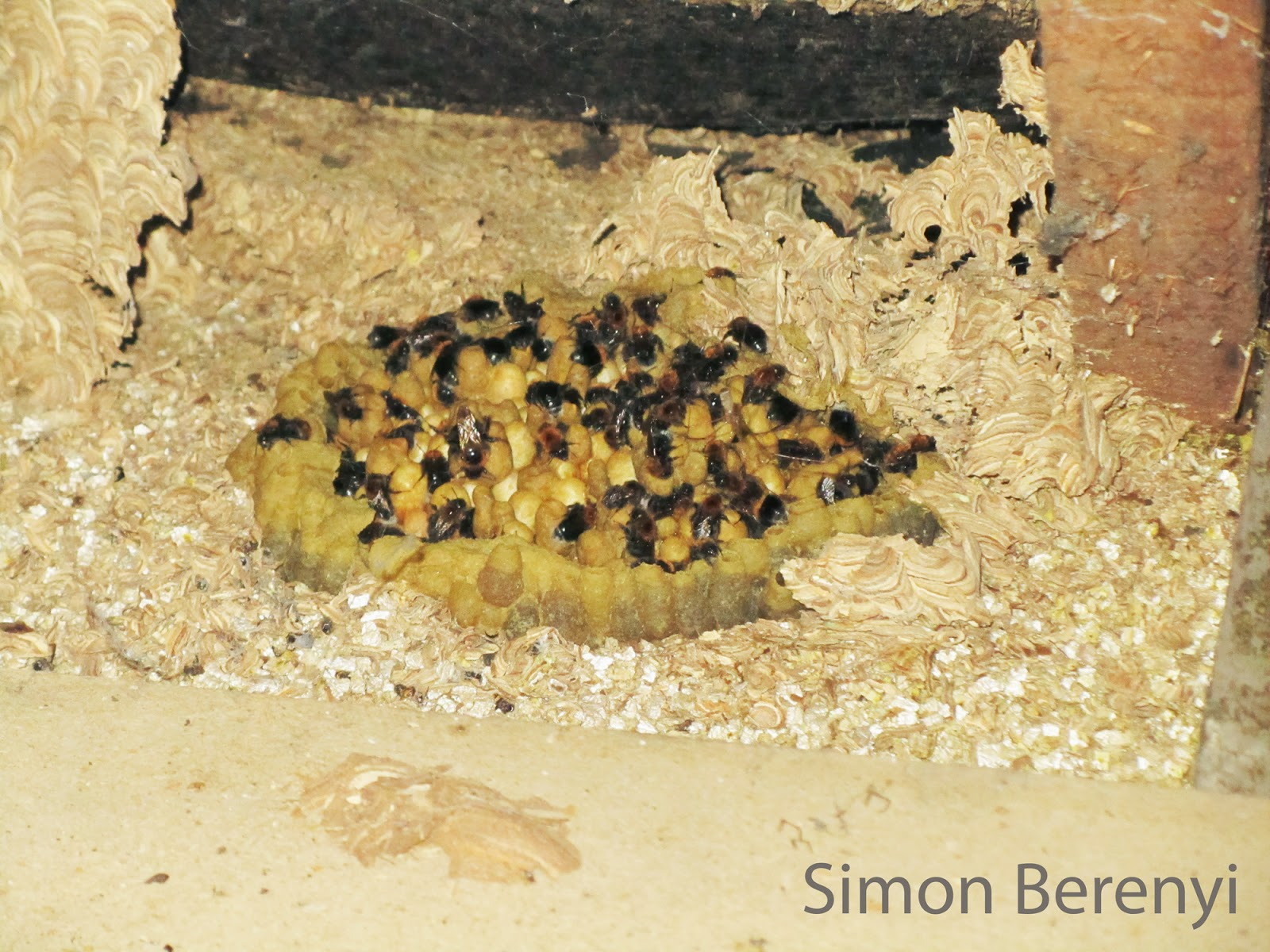 bombus hypnorum in attic