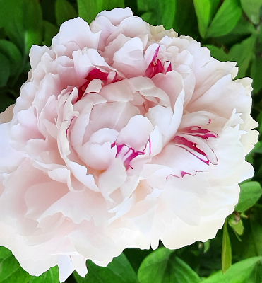 peony white and pink beautiful