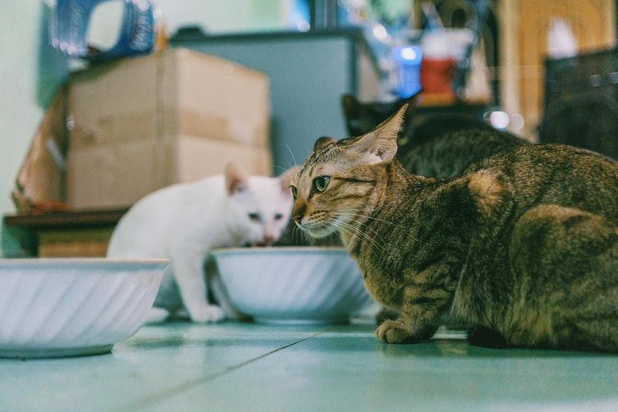 jak przestawić kota na nową karmę, przestawianie kota na nową karmę, kocia karma, kocia dieta, nowa karma dla kota, kot warszawski, behawiorysta warszawa