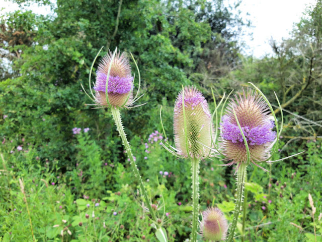 Pink teasel flowers in a band around the spiky teasel heads.  The stems are also spiky, and in the background are a number of green trees and bushes