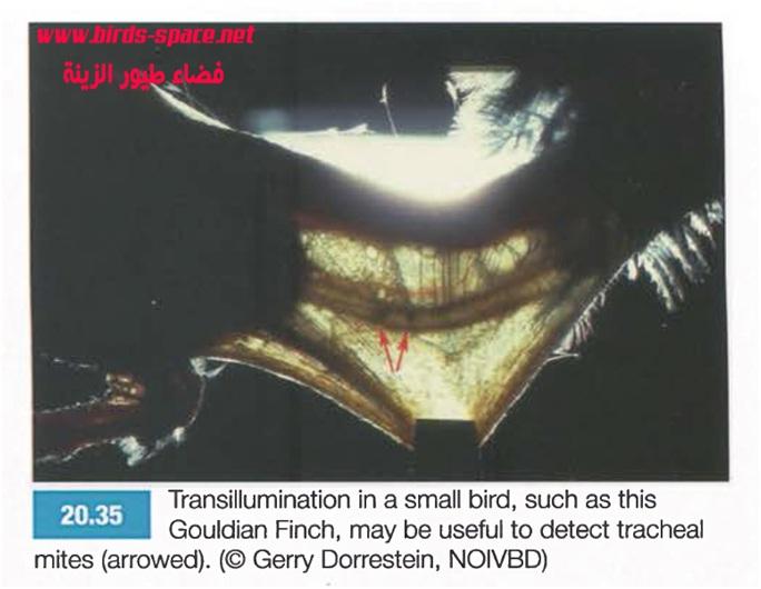 - يمكن ملاحظة العث و ذلك باستعمال الإضاءة (transillumination) على القصبة الهوائية للطائر ( يجب تبليل حلق الطائر بالكحول الطبي ) يظهر العث على شكل نقاط سوداء .