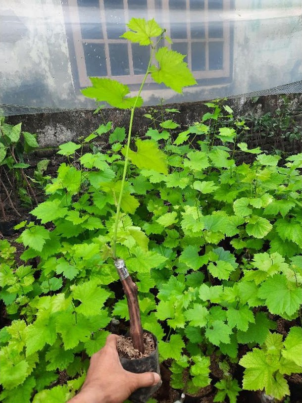 Bibit Anggur Import Ninel Garansi Valid 100 Probolinggo