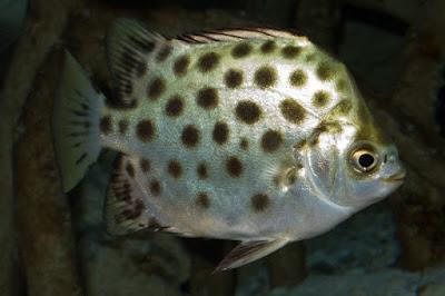 Ikan Kipper
