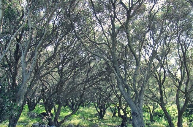 Corfu island olive trees