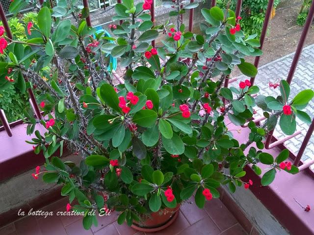 pianta-grassa-chiamata-spina-di.cristo