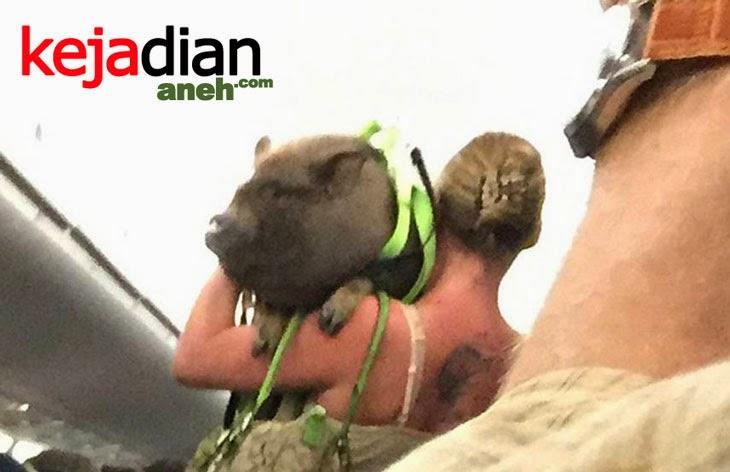 Babi Ikut Terbang di Pesawat