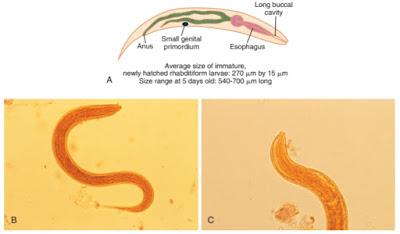 Praktikum Parasitologi Ciri-Ciri Nematoda; larva rhabditiform cacing tambang