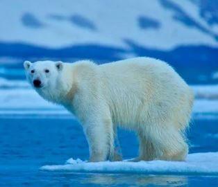 سكان الدب القطبي في جميع أنحاء العالم: حقائق وأرقام مهمة