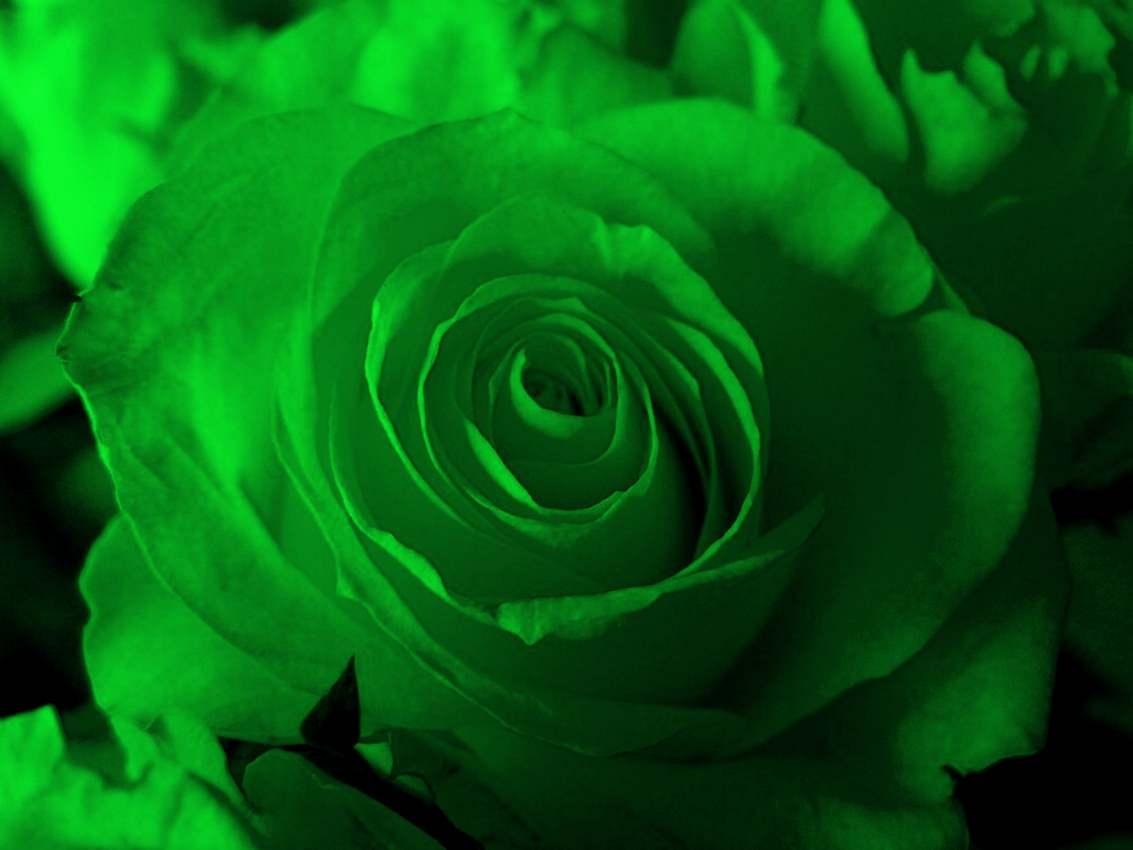 Beautiful HD Wallpapers: Green Rose HD Wallpaper
