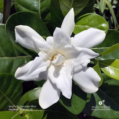 ดอก พุดทูอินวัน, พุดแสงอุษาซ้อน