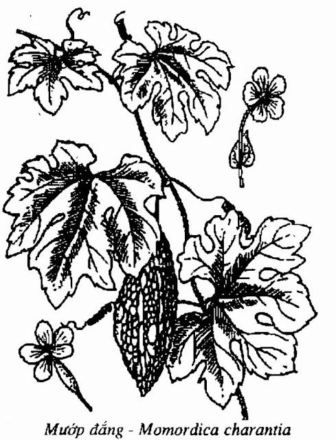 Hình vẽ MƯỚP ĐẮNG - Momordica charantia - Nguyên liệu làm thuốc Chữa Ho Hen