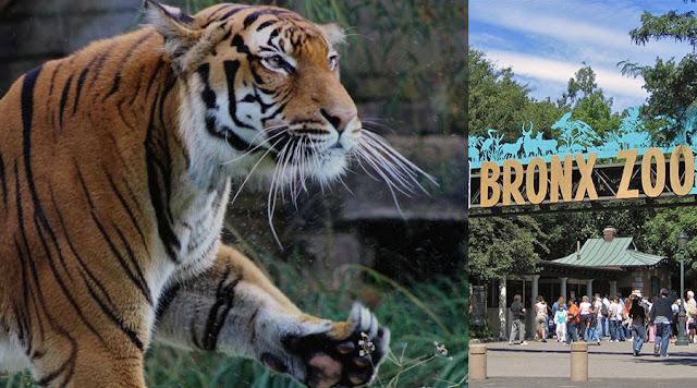 Harimau Disahkan Positif COVID-19. Bolehkah Virus Ini Dijangkiti Pada Haiwan?