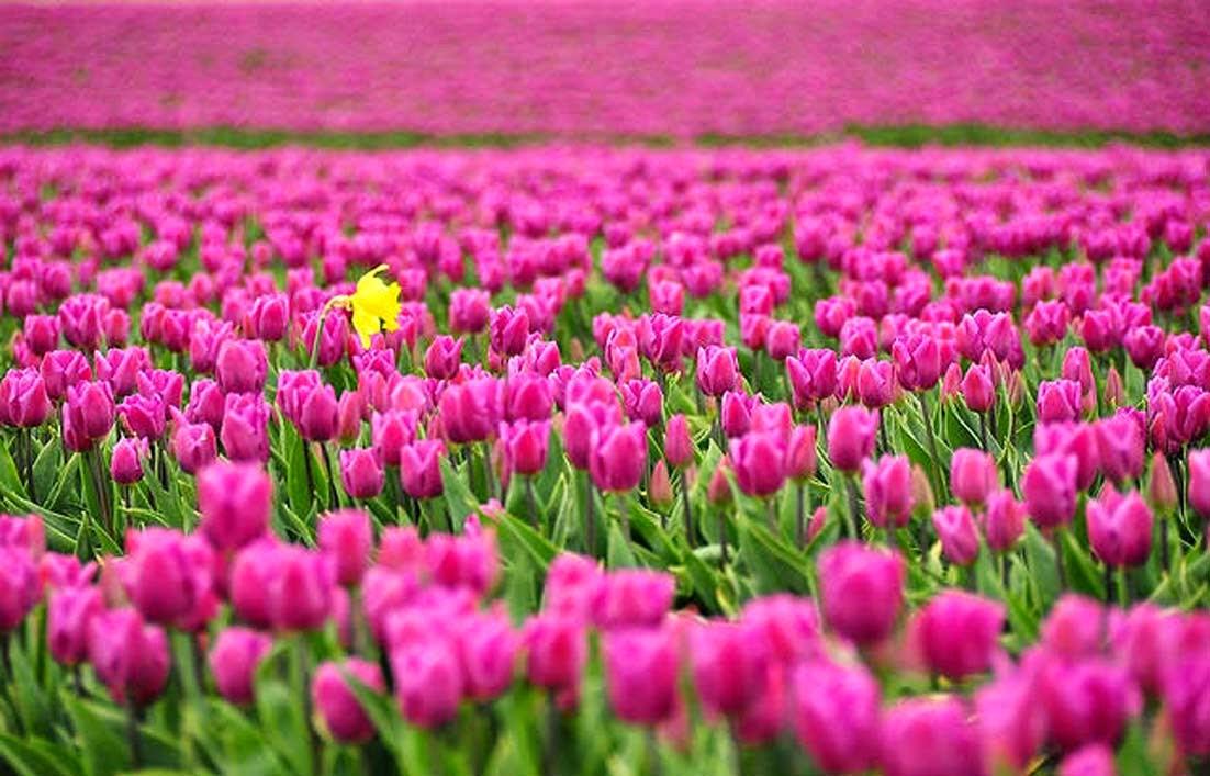 Arti Bunga Tulip Berdasarkan Warnanya  Gambar  Gambar Bunga