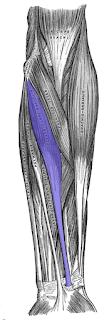 flexor carpi radialis muscle